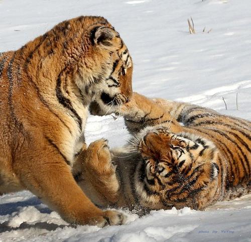 唬老虎的小男孩
