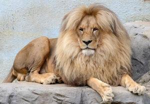 狮子的头发烧掉后