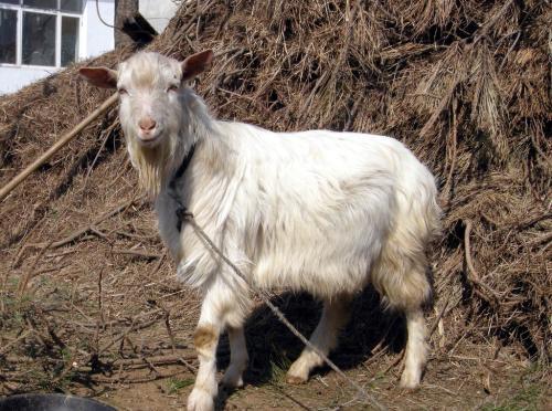 塞根先生的山羊