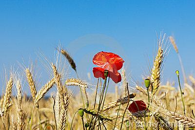 国王和麦子
