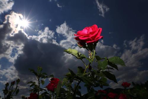 玫瑰花为什么带刺