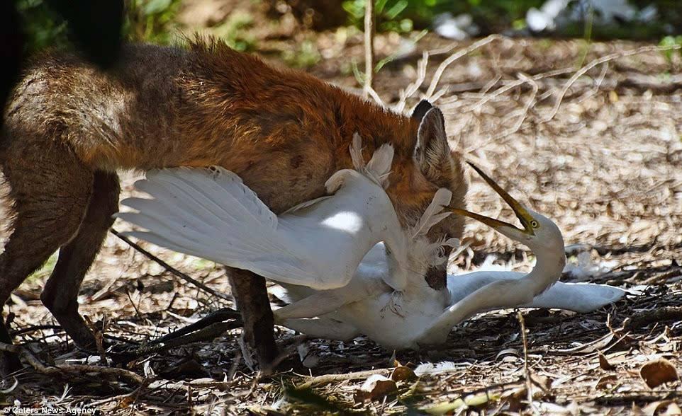 鸽子、狐狸和白鹤