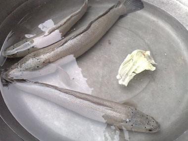 永安白乌鱼